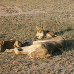 Lioness and cubs by the roadside