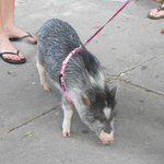 Next to last stop on the tour, a pig on a leash!