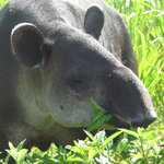 Tapir nearly at a touch distance