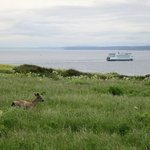 Deer and ferry