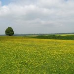 Buttercups and Rape flowers at Old Sarum