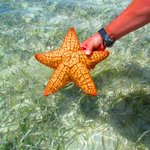 Starfish As Big As Ribeye Steaks