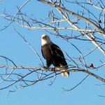 Bald eagle sitting in tree outside cabin