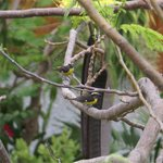 Two Bananaquits in tree adjacent to pool