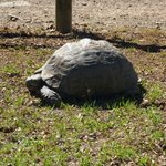 Giant tortoise passing by