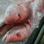 red snapper as fresh as they come