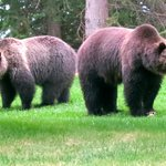 Grizzly bears near Jasper House Bungalows