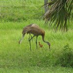 A family of Sandhill cranes
