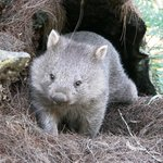 Wombat emerging from his burrow