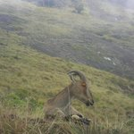 The Nilgiri Thar amidst the  descending clouds