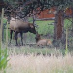 Elk at the back of the motel