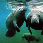 Manatee Watching