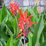 Cannas in the Garden