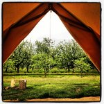 View of orchard from tent!