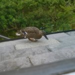 ducks on roof of dining room!