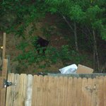 The bear going towards the dumpster.