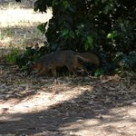 Fox at the campground.