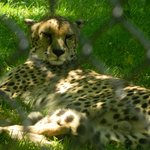 A cheetah napping in the shade