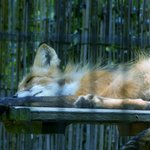 Nap time for this fox