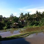 view of rice paddys