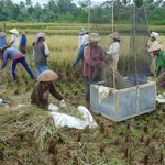 harvesting the rice