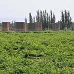The grape drying houses