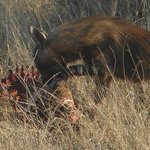 brown hyena finishing off the scraps