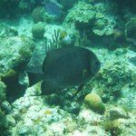 Grey Angelfish!