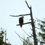 Bald Eagle surveying breakfast on Chestermans Beach