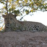 leopard spotted on game drive