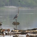 Heron on our excursion