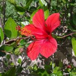 Hibiscus hedge