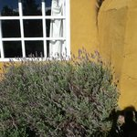 A big lavender bush outside the casa