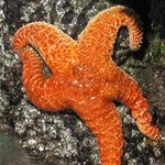 Starfish at the tide pools