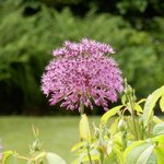 Purple Allium - I think ?