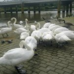 Swans eating their wheat seeds