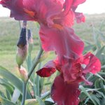 Spring Irises were blooming in May