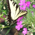 Beautiful Butterfly Enjoying the Phlox