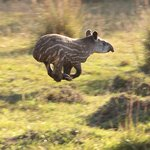 My husband snapped this photo of a tapir baby on the drive in to the Fazenda