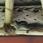 Squirrel living in the eaves above the outdoor shower