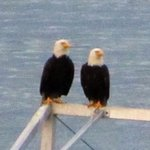 Bald Eagles by the Pools fishing off the pier