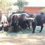 Herd of buffalo enjoying lunch