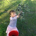 Grandaughter Charlotte helping to pick our olives for the platters we serve.