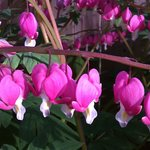 2013's Cool, Wet Spring Yields Beautiful Bleeding Hearts Plants in our Garden