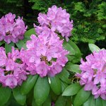 Beautiful Rhododendrons at Kingsleigh Inn