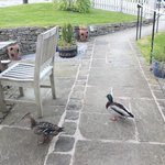 Ducks in the Garden at The Hayloft