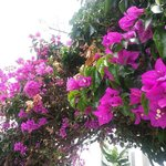 Beautiful Bouganvillia by the old harbour.
