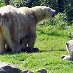 """Polar bear """"Frimas"""", with her cubs """"Noordje"""" (underneath) and """"Pixel"""""""