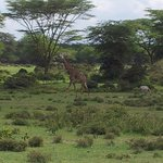 A giraffe on the walk to Naivasha