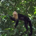 Monkey Manuel Antonio Beach